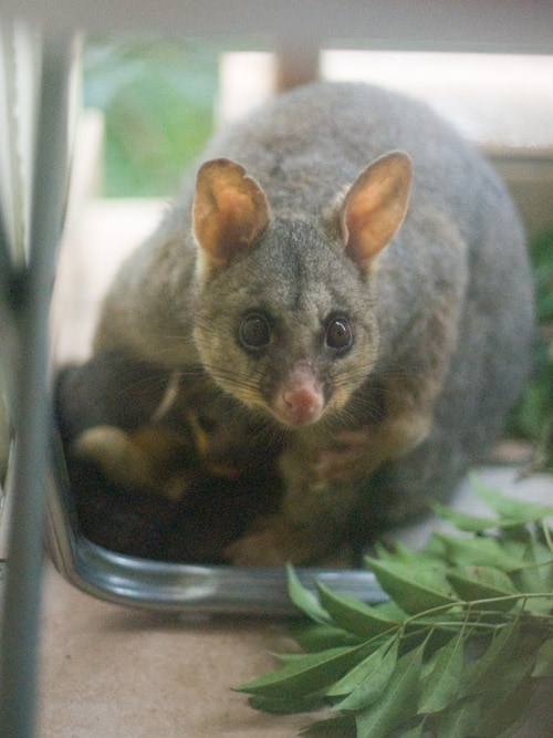 possum_cub2