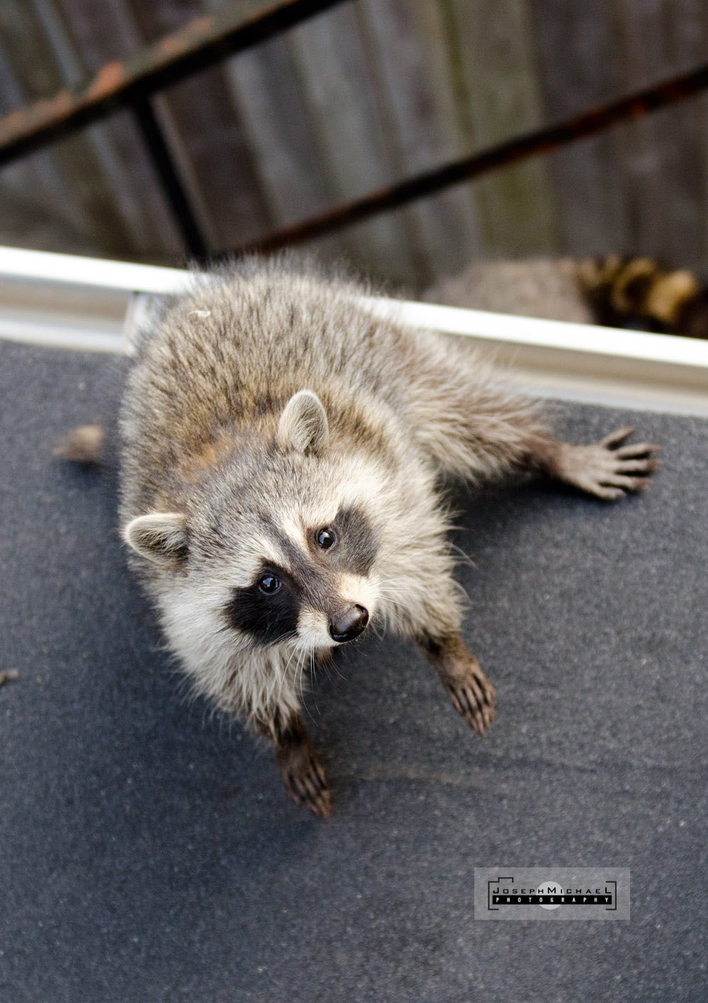 Toronto Raccoon Photos